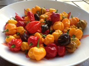 A mostly Scotch Bonnet based harvest this afternoon.